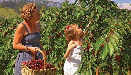 Red Hill Cherries